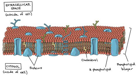 diagram of a cell membrane farahin prokaryotic cells