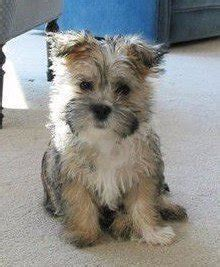 cairn shih tzu mix shih tzu mixes complete list