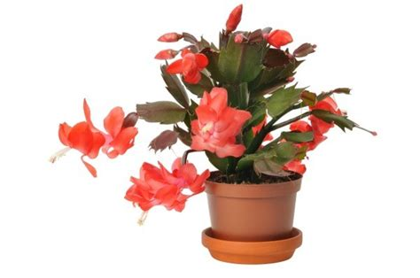 how much darkness do christmas cactus need cactus with leaves thriftyfun