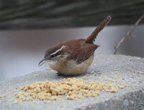 top 28 what do wrens eat in the winter carolina wren