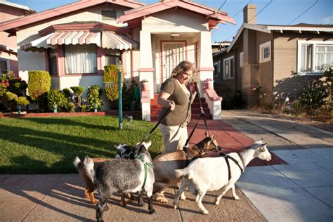backyard goat farming backyard roots book shares secrets of city farming berkeleyside