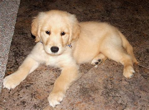marley and me golden retriever puppy of the day september 8th 09