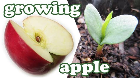 how to grow an apple tree from seeds growing apples fruits planting dwarf fruit trees