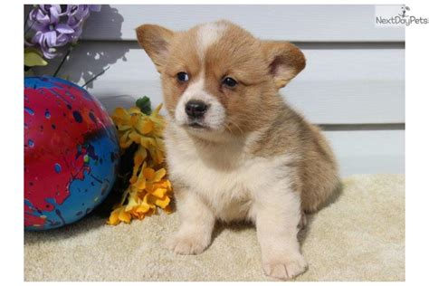 corgi puppies near me corgi puppy for sale near lancaster pennsylvania 96d666f7 b2a1