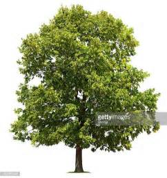 images of trees elm tree stock photos and pictures getty images