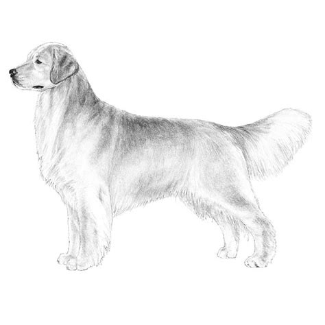 golden retriever akc standard golden retriever breed information american kennel club