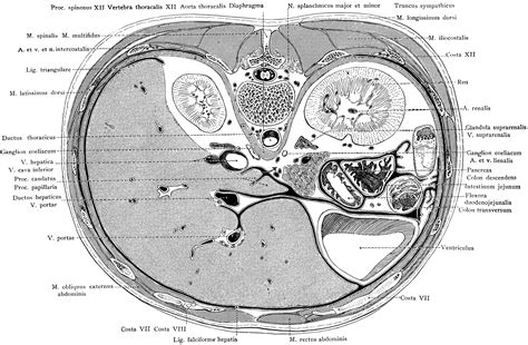 sections of the liver cross section of the trunk through the liver clipart etc