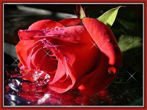 imagenes con movimiento de rosas rojas imagenes hermosas de rosas rojas con frases imagenes de rosa