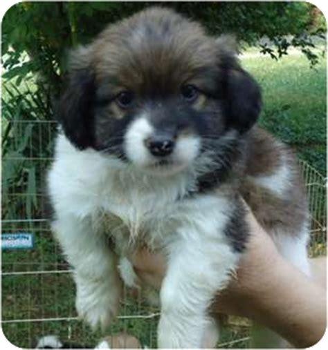 shih tzu maryland robbie adopted puppy hbh hagerstown md shih tzu pekingese mix