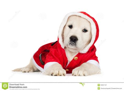 golden retriever costume for person golden retriever puppy in a santa costume royalty free stock photography image 35351747