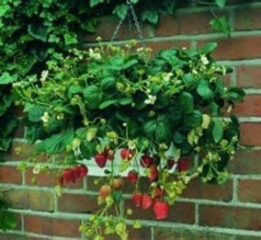 pianta di fragola in vaso coltivazione fragole frutteto come coltivare le fragole