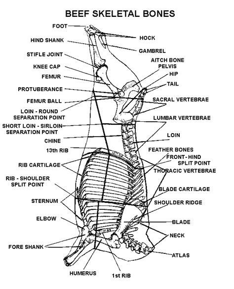 butchering a deer diagram venison butcher diagram related keywords venison butcher