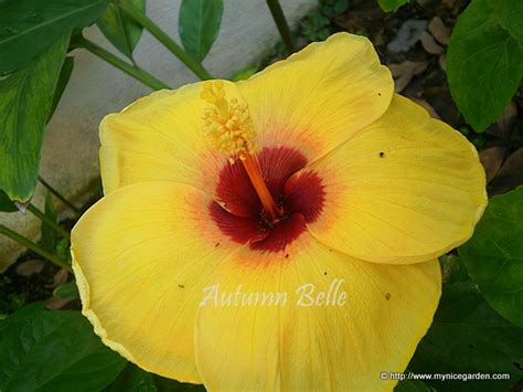 yellow quot hibiscus rosa sinensis quot and red quot hibiscus my tropical plants finder hibiscus rosa sinensis