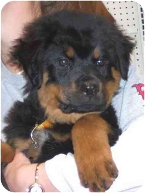 rottweiler and newfoundland mix venus adopted puppy west los angeles ca rottweiler newfoundland mix
