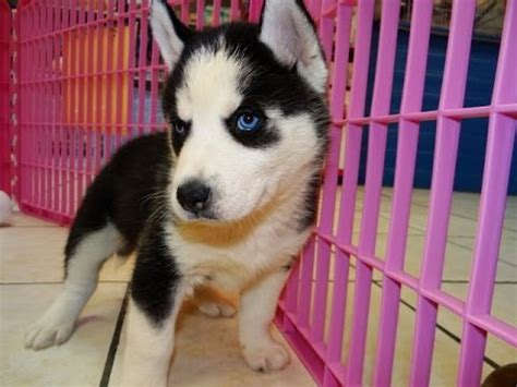craigslist husky puppies siberian husky puppies dogs for sale in arizona az 19breeders gilbert