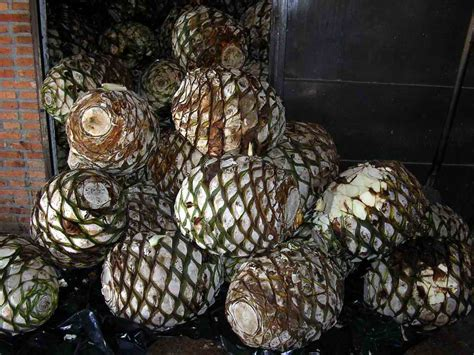agave fruit agave fruit related keywords agave fruit