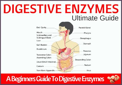 digestive enzymes digestive enzymes a beginner s guide boiled
