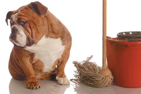 why dogs urinate in the house how to deal with your dog peeing in the house daily dogs life
