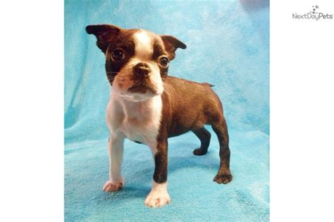 miniature boston terrier puppies for sale in boston terrier puppies for sale denver akc breeds picture