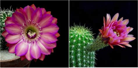 Blooming For by Flower On Cactus Impremedia Net