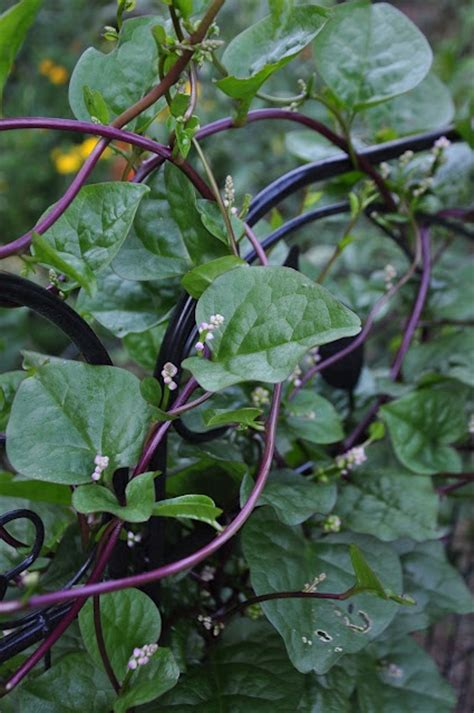 climbing cucumber plants 58 best images about basella on spinach