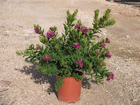 potatura piante da giardino la polygala piante da giardino
