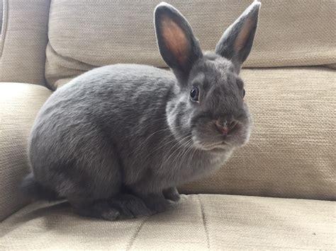 netherland rabbit colors grey netherland rabbit names