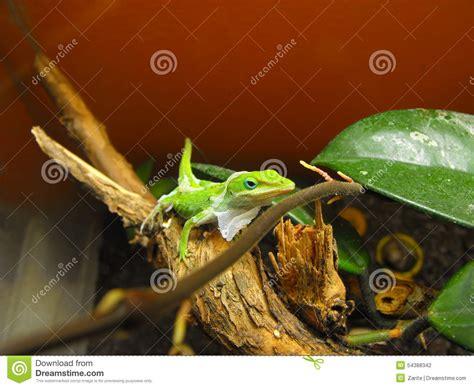 green anole shedding stock photo image 54388342