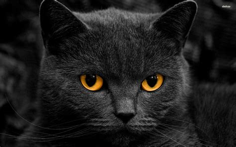 wallpaper cats animals black cat wallpaper 869400