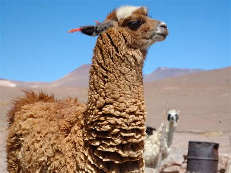 urial wallpapers animals town free llama wallpaper animals town
