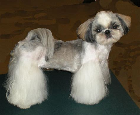 how to trim shih tzu shih tzu cocker cut shih tzus