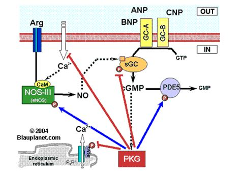protein kinase g regulation of the nitric oxide cyclic gmp pathway by