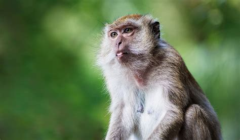 new year facts about the monkey world monkeys facts information habitat