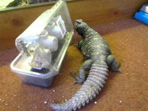 how to remove lizard from room uromastyx lizard is hungry