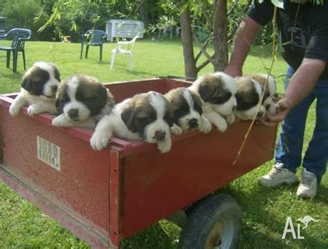 st bernard puppies for sale in ohio dogbreedspicture net 522 connection timed out