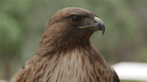 ranger gives close up look at birds of prey video san
