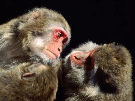 monkey and monkeys images monkeys hd wallpaper and background photos 14750729