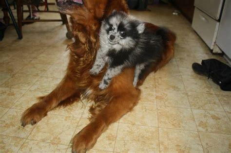 shirley pomeranian cujo blue merle pomeranian puppy mid leap in a match against damien