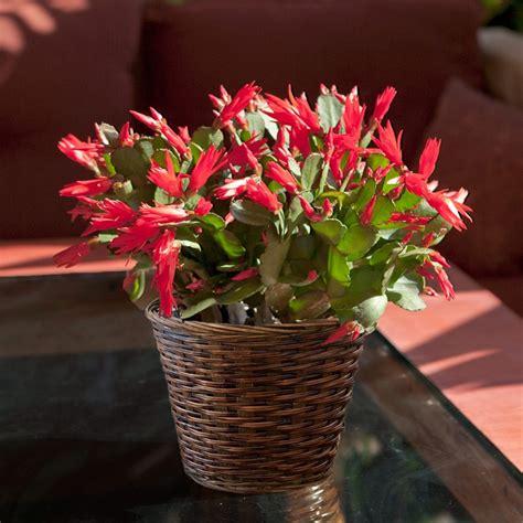 christmas cactus in rattan basket givingplants com