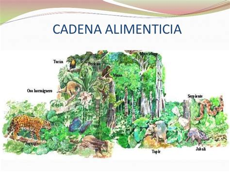 cadenas troficas bosque cadena alimenticia del bosque imagui