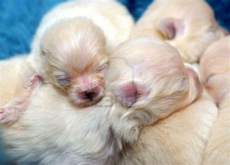 pomeranian hypoglycemia 99 best pomeranian dogs images on pomeranian pomeranian dogs and pomeranians