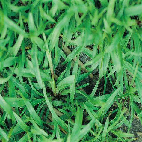 Grass Seed by Carpet Grass Seeds Quot Premium Grade Coated Quot 10 Lbs Ebay