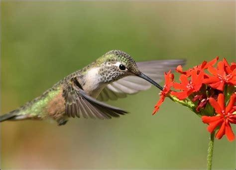 hummingbird facts quot