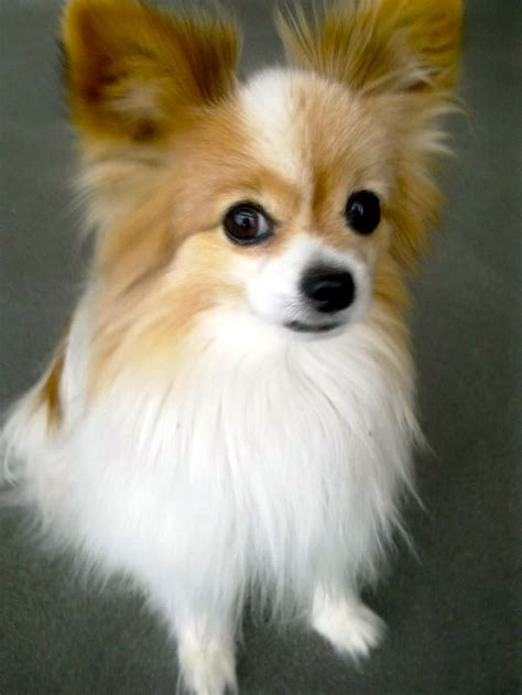 beautiful papillon dog