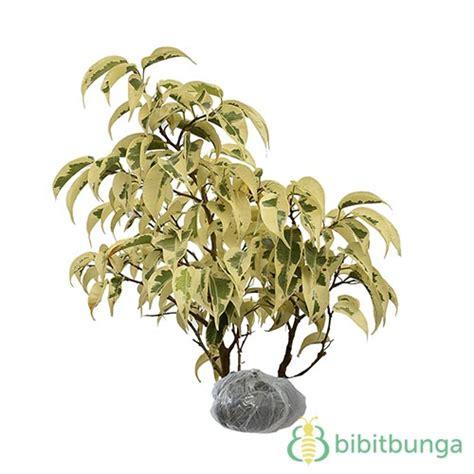 tanaman beringin dolar bibitbunga
