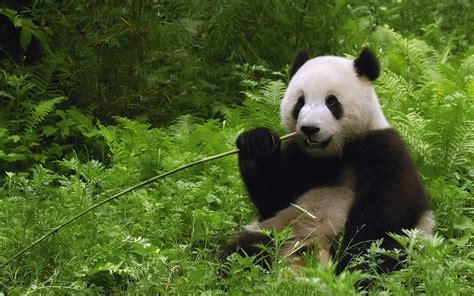 wallpaper desktop panda cute panda bears hd wallpapers desktop wallpapers