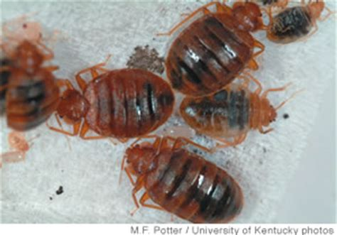 bed bugs hawaii do not let the bed bugs bite midweek kaua i