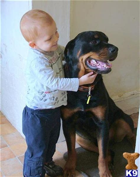 rottweiler for sale nz rottweiler puppies for sale in new zealand rottweiler puppies for breeds picture