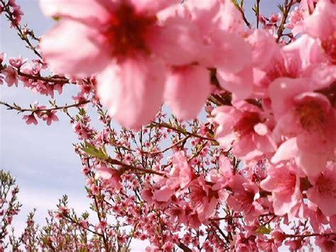 foto ci di fiori i ciliegi in fiore ma vi