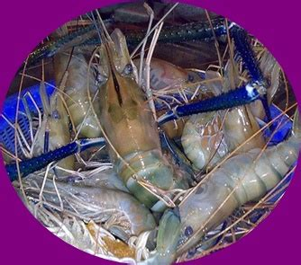 Pancing Udang mata pancing udang yang bagus ukuran berapa raja umpan